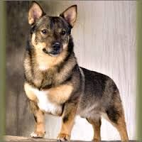 swedish vallhund puppies