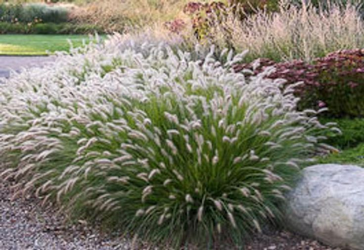 2 Hamlengras In 25 Zoll Behaltern Zwergbrunnengras 2 Topfpflanzen Eine Pflanze Pro Topf Diese Sind Im Moment Sehr Ziergras Graser Fur Schatten Topfpflanzen