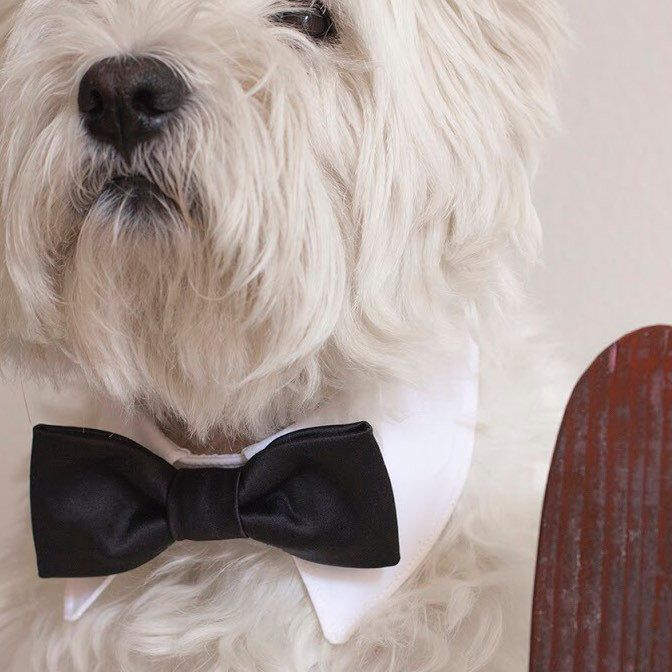 Fantastic wedding dog shirt collar! Available from now!