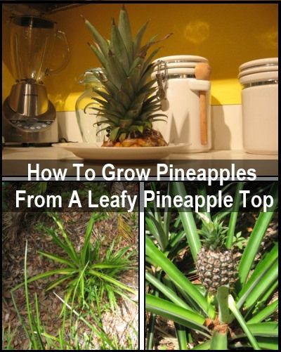 How To Regrow Pineapples
