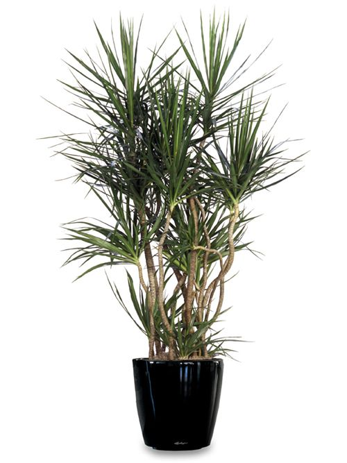 dracaena marginata - Google Search