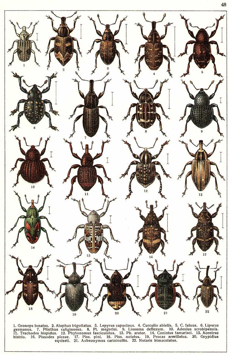 """G.G. Yakobson (1905-1915) - """"Beetles of Russia"""": table 48"""