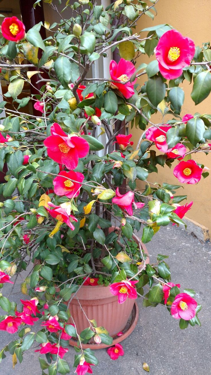 March is the month for Camellias in Monza
