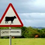 CATTLE XING_0076