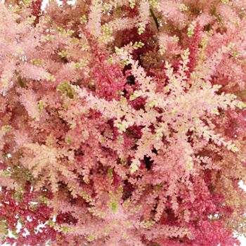 FiftyFlowers.com - Hues of Pinks Astilbe Flowers