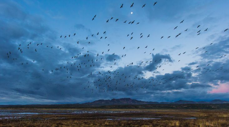 https://flic.kr/p/hV16Df | Moonlit Dawn 3942 | The moon peeks through a break in the clouds over Bosque del Apache National Wildlife Refuge in San Antonio, New Mexico.  It is the morning twilight and snow geese fill the skies during the fly-out.  They have spent the night in the shallow retention ponds of the refuge.  The water provides some measure of protection and early warning from predators like coyotes.  At the first hint of light the geese begin to fly out to the fields where they…