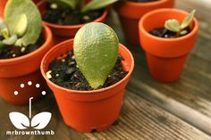 Jade Plant Leaf Cutting Propagation : MrBrownThumb