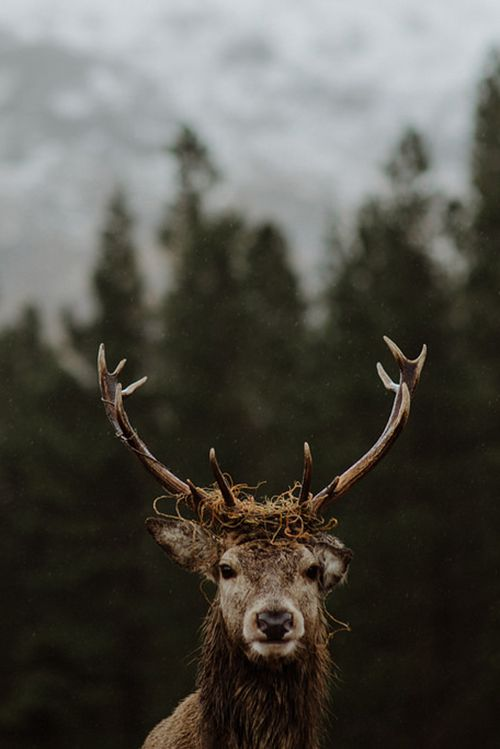 WILDLIFE | PORTRAIT | NATURE | FREE | BEAUTY | PURE | SINGLE | FLOCK | ASSORTED SIZES | CARNIVORE | HERBIVORES | WORLD | BONNINESS #stag #animal #wildlife #beapart #deep #forest
