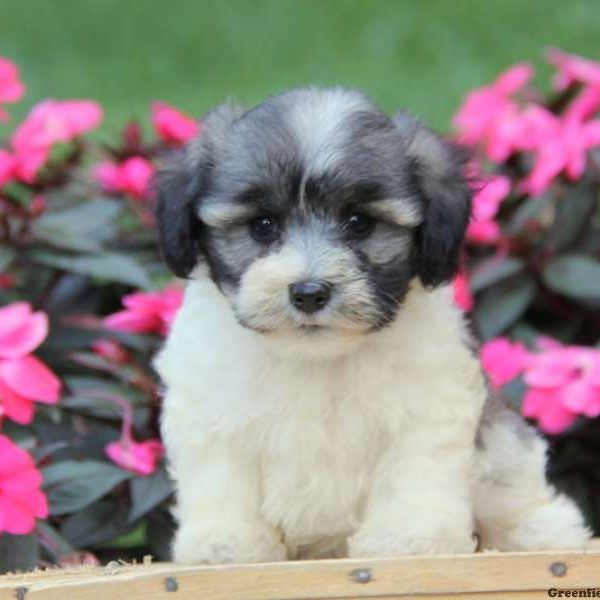Chonzer Puppies For Sale Chonzer Dog Breed Info Greenfield Puppies Dog Breed Info Greenfield Puppies Puppies