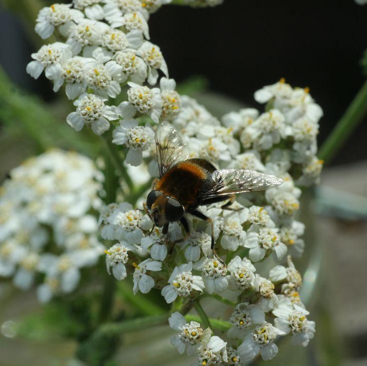 Duizendblad (Achillea millefolium). DE: Schafgarbe. EN: Yarrow