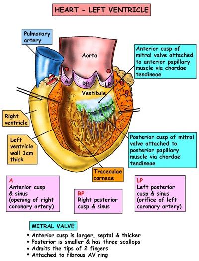 Coracao: ventriculo esquerdo.