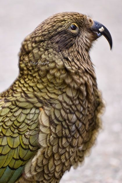 A Kea parrot, one of 10 species in New Zealand, is a smart and curious bird. They live on the South Island of New Zealand, in the alpine mountain area. They were named by the Maori tribe, there.