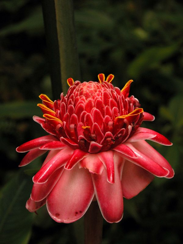 Tropical Flower - St. Lucia by Kent Kuddes