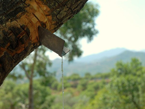 Manna drops running on a string. Madonie, Sicily http://homemadesicily.com/en/the-madonie/manna-the-madonie-white-gold/