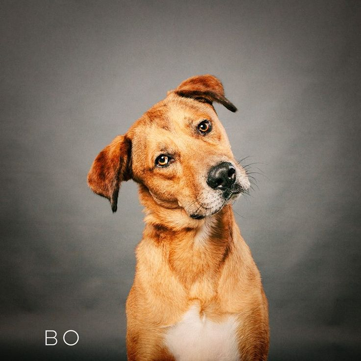 """01/22/17 - HOUSTON, TX -""""I need a running buddy. And a job please. No cats, thanku very much. I love other dogs and have great manners. Cuddlebug City over here. I want to please, so maybe we can go for training to become a therapy dog? Let's do this!"""" Bo aka Bourbon is available for adoption through Adore Houston. info@adorehouston.org"""