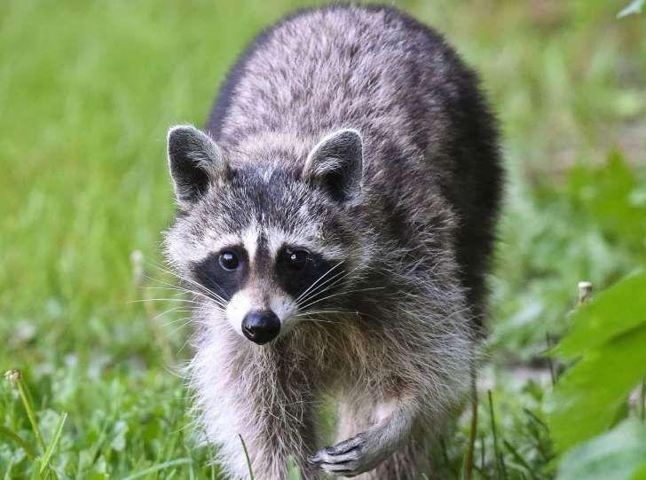 Russian zoo sues advertising firm for 'traumatising' rented raccoon in erotic photo shoot / http://www.msn.com/en-gb/news/world/russian-zoo-sues-advertising-firm-for-traumatising-rented-raccoon-in-erotic-photo-shoot/ar-BBycxXB?li=AAnZ9Ug&ocid=iehp