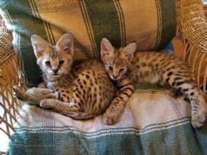 7 month old serval kittens