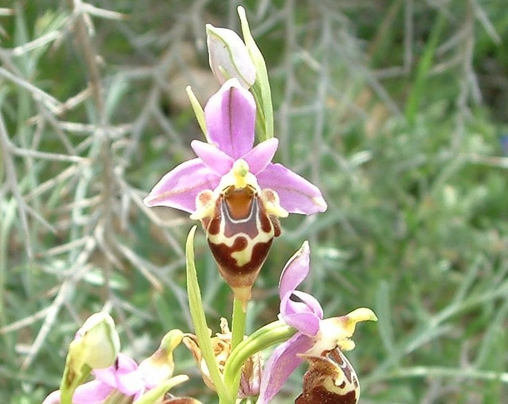 The beautiful Ophrys heldreichii