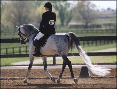 Flying change arabian stallion dressage