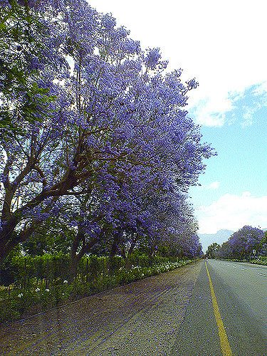 The road leading into Bonnievale from Robertson is covered in colour. Jacaranda trees in full bloom.