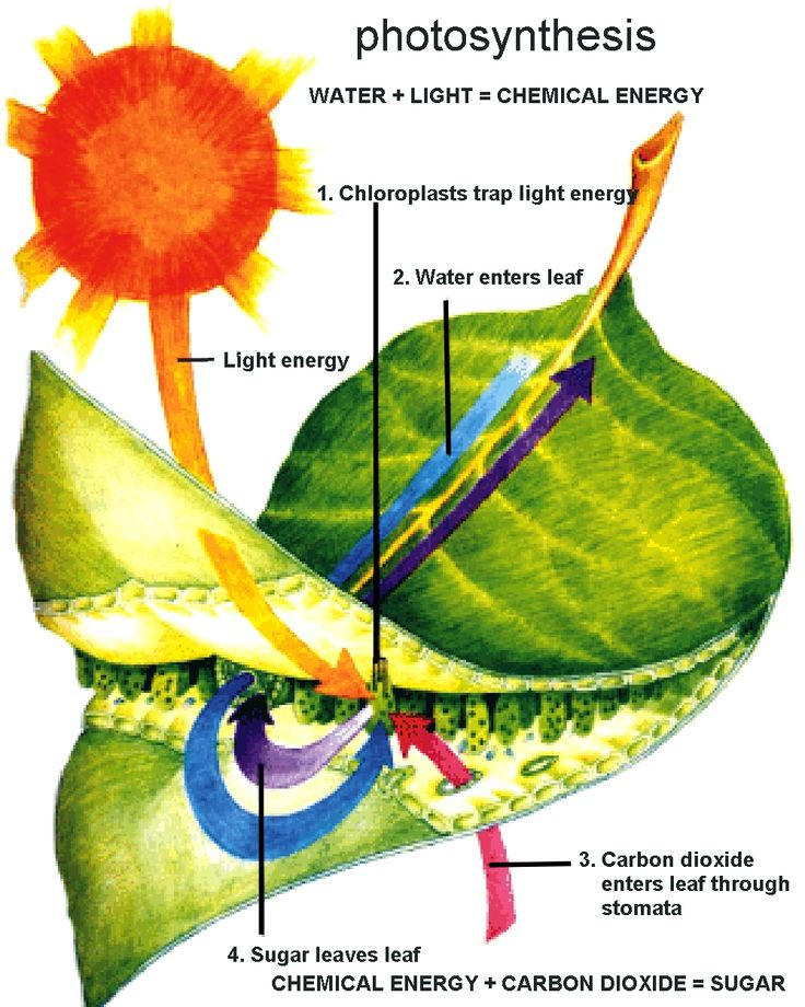 Diagram of the photosynthetic process