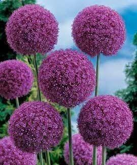 Giant Allium.