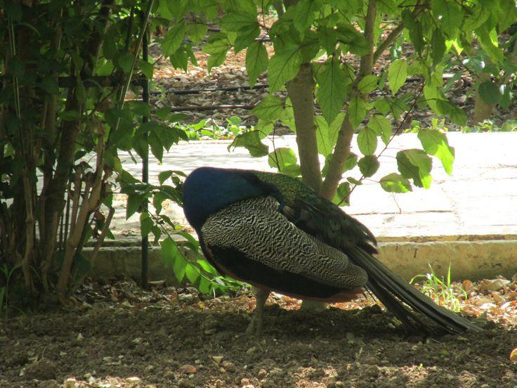 What a pretty peacock - San Anton Gardens, Attard