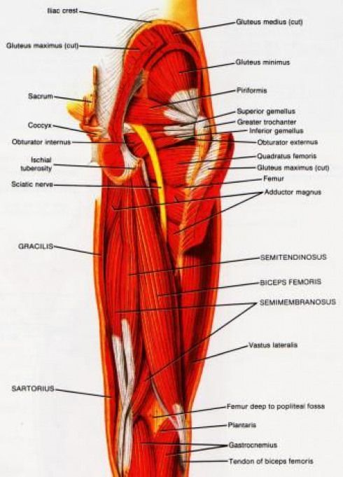 Hamstring Muscle Group Picture Used From Principles Of Anatomy And
