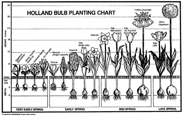 BULB GARDEN | ... bulbs and more university of colorado fall planted bulbs and corms
