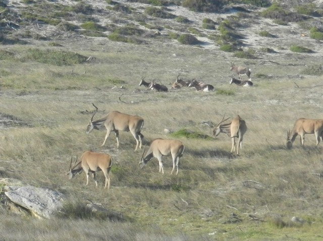 Eland and Bontebok, The Meadows, Buffels Bay, Cape Point National Park, Cape Town, South Africa
