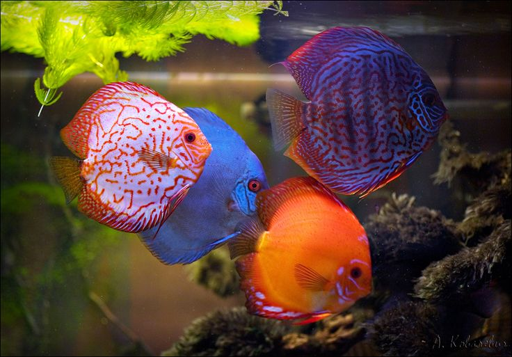 1650 best images about discus on pinterest for Discus fish price