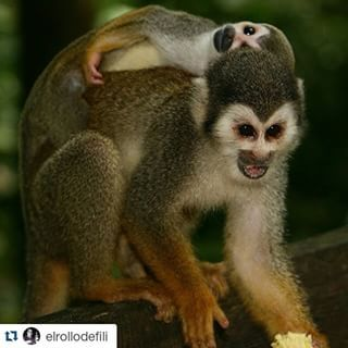 #Repost @elrollodefili ・・・ Ternura. Isla de los micos. #Leticia #Amazonas #elrollodefili #Colombia