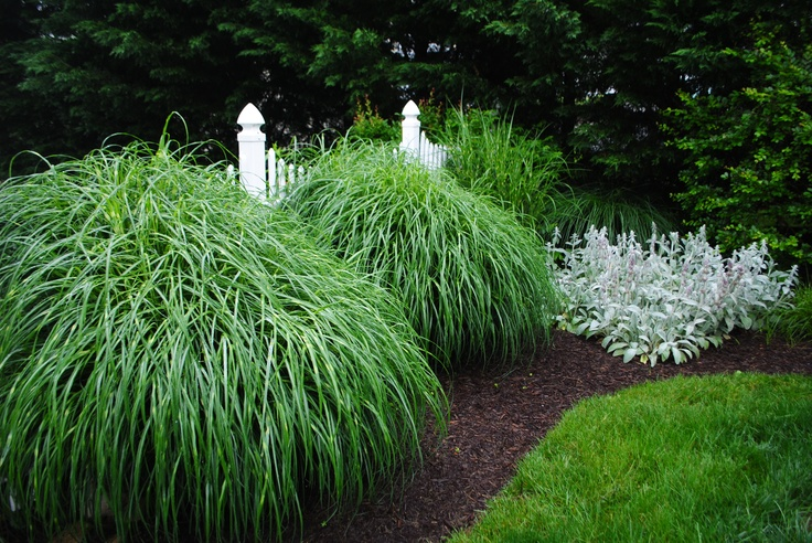 Miscanthus sinensis zebrinus zebra grass maryland for Landscaping with zebra grass