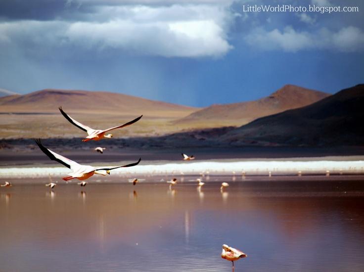 James flamingos. Laguna Colorada, Bolivia