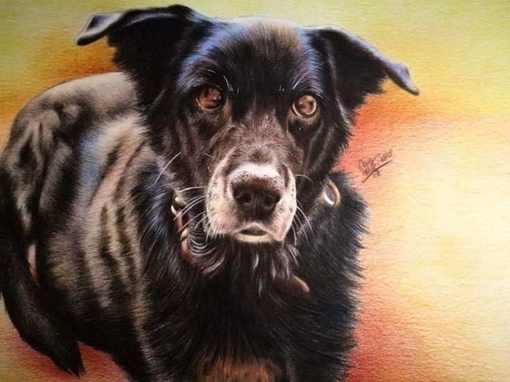 My dog Ksena photorealistic polychromos color pencils portrait drawing by Magdalena Leszczyniak