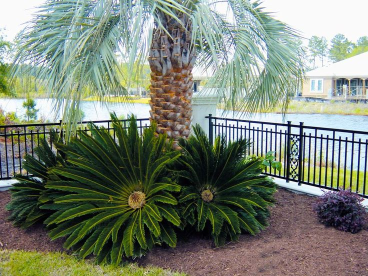 King Sago - Superior Sod | Mulch and sod in WilmingtonSuperior Sod ...