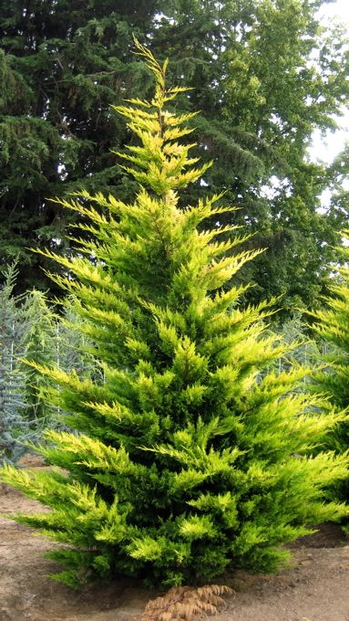 Gold Rider Leyland Cypress – fast-growing pyramidal coniferous evergreen tree. Well-drained soil, full sun. Once established, needs only occasional watering.    12–15' H x 5–7' W (10 years) up to 35' H x 15' W.