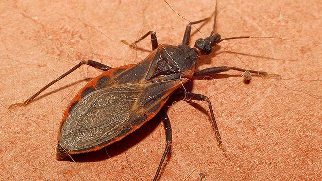O barbeiro é o inseto transmissor do Trypanosoma cruzi, o protozoário causador da Doença de Chagas (Foto: Divulgação)