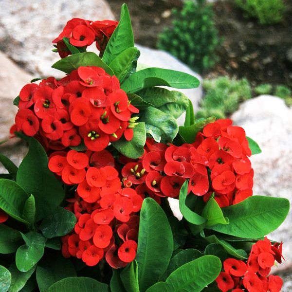 Euphorbia Red Succulent Plant Euphorbia Red Succulents