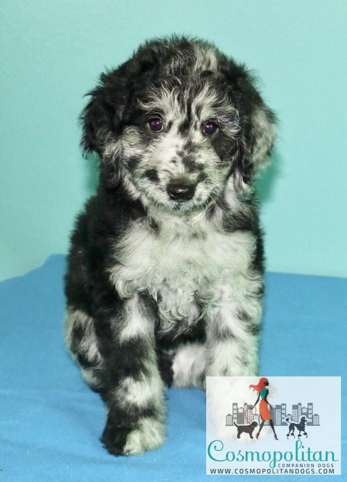 Mini Blue Merle Cookies And Cream Goldendoodle Puppy Www