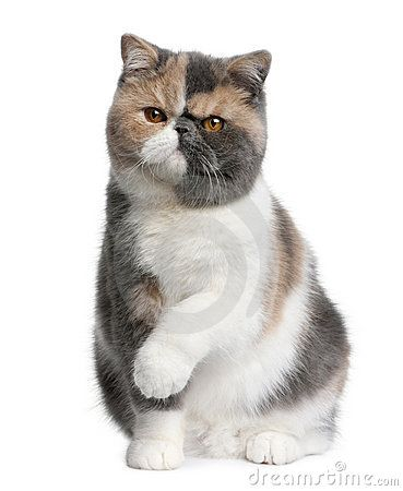 photos of shorthair exotic cats | exotic shorthair exotics are actually a persian breed with a short ...
