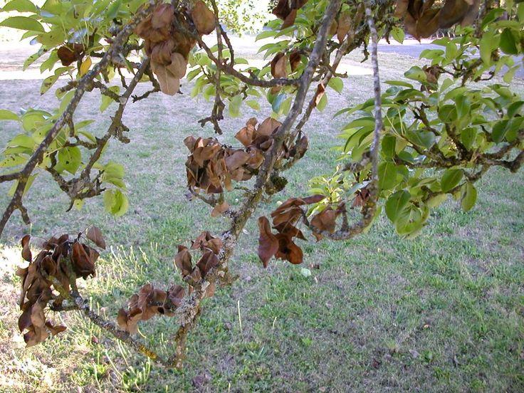 Засохшая ветка в кроне плодового дерева