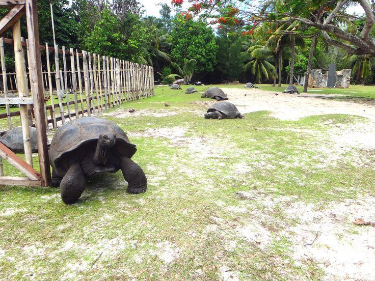 Seychellit. Curieuse Island. Saarella asustelee yli 300 aldabranjättiläiskilpikonnaa.