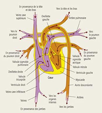 Explications sur l'hypertension artérielle pulmonaire | LEEM - Les entreprises du médicament
