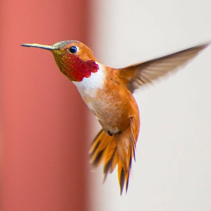 Best Hummingbirds Images On Pinterest Bird Of Paradise Bird - Photographer captures amazing close up photos of hummingbirds iridescent feathers
