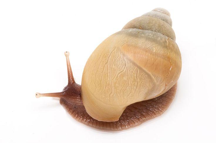 Lissachatina zanzibarica typ 3 albino shell