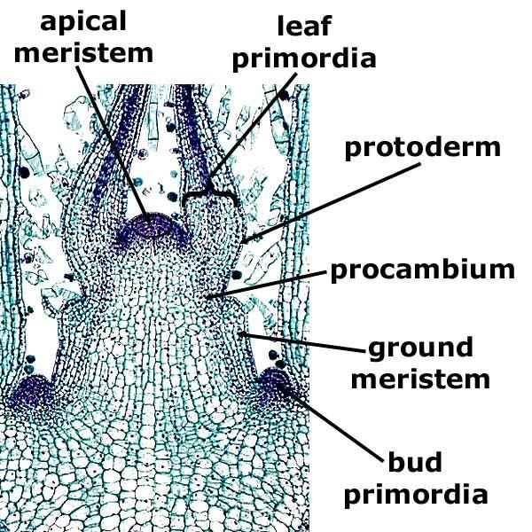 Coleus Stem Tip, l.s. | Plant Anatomy I - Leaf, Stem, Root ...