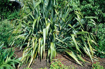RHS info about Phormium tenax (New Zealand flax)