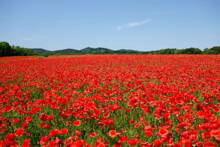 Amazing field of poppies we found while traveling the Harz region in Germany....stunning!  #harz #famtripharz #germany #poppies