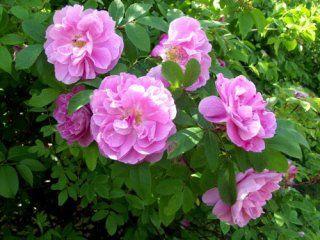 Teresanruusu - -V kork. 1,5-2 m/ lev. 1-1,5 m A Kukat ovat leveähköt, kerrotut, vaaleanpunaiset. Runsain kukinta on kesäkuun lopulta heinäkuun puoliväliin, jonka jälkeen pensas kukkii harvakseltaan koko loppukesän. Hieno tuoksu. Miellyttävän vähäpiikkinen. Menestyy parhaiten ravinteikkaassa multavassa maassa.